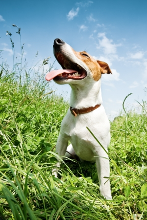 jack russel in big grass photo