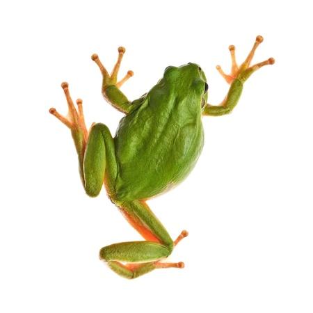 sapo: rana de árbol aislado en blanco Foto de archivo