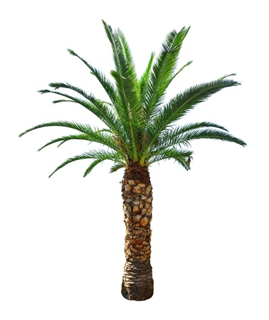palm: palm tree isolated on white Stock Photo