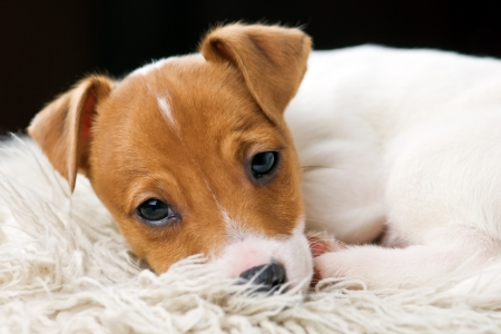 jack russel: jack russel terrier on white sheet