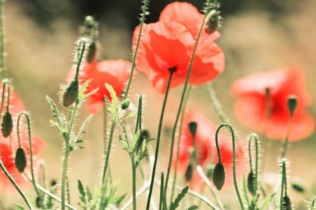 opium poppy: red poppy flower close up