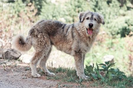 sheep dog: himalaya shepherd dog close up Stock Photo