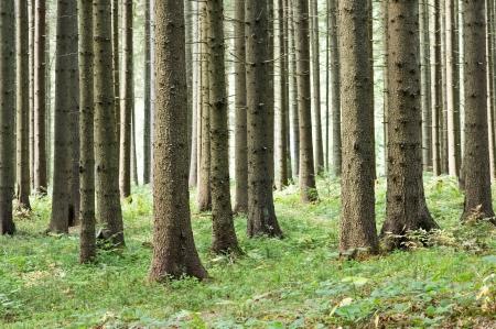evergreen forest: fairy tale fir tree forest