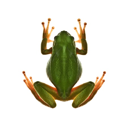 tree frog isolated on white photo