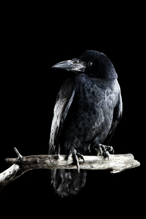 crow: black crow portrait close up