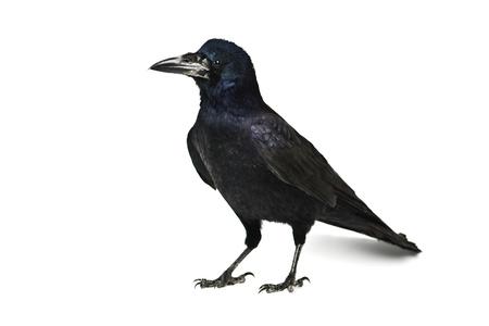 cuervo: cuervo negro aislado en blanco