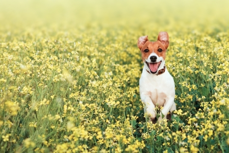 small white dog: jack russel on flower meadow Stock Photo
