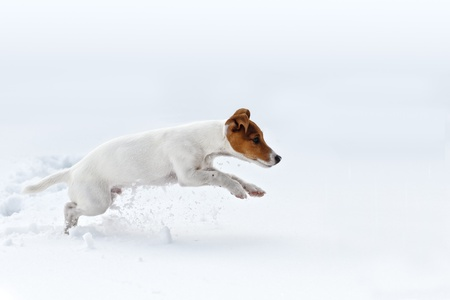 jack russel: jack russel jumping on snow Stock Photo