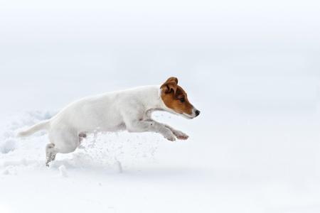 jack russel Springen auf Schnee