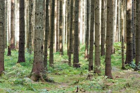 wilderness area: fairy tale fir tree forest