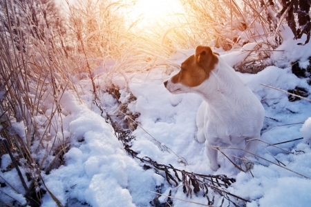 perky: jack russel in snow closeup Stock Photo