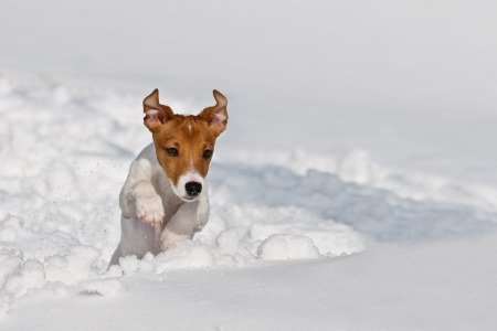 jack russel jumping on snow photo