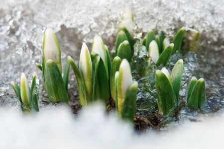 first day: small snowdrop get out from growth Stock Photo