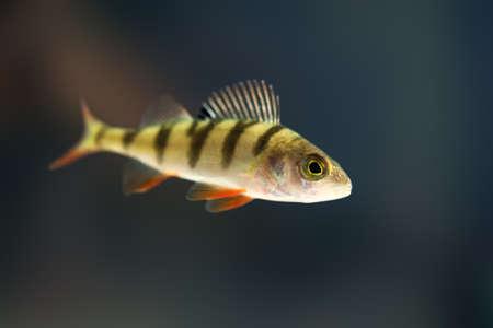 perche dans l'eau près Banque d'images