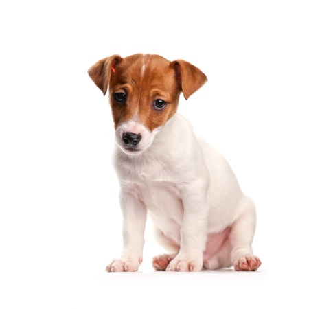 jack russel: jack russel isolated on white
