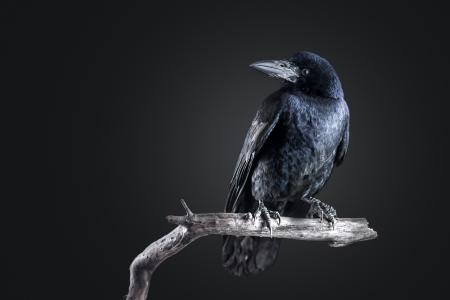 retrato cuervo negro de cerca Foto de archivo