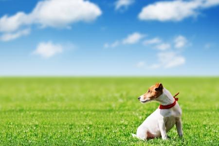 緑の芝生のジャック ラッセル