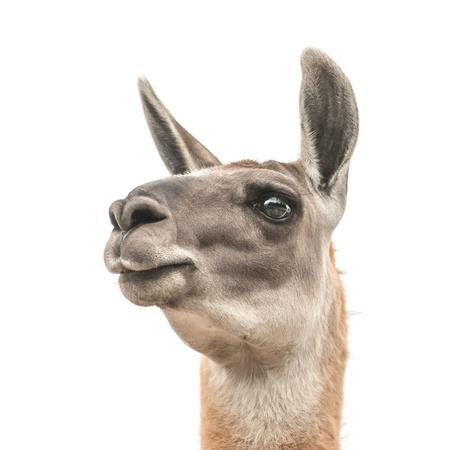 llama head isolated on white photo