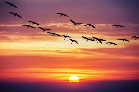 cranes fligth on sunset background photo