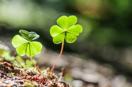 two clover leaf on dark background photo