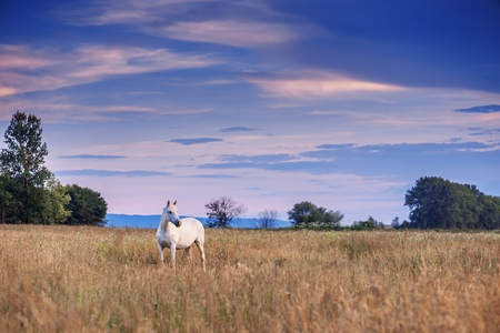 white horse on the meadow photo