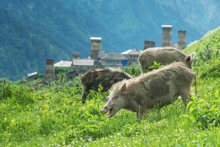 three pig on green field photo