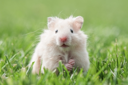芝生のクローズ アップには白、ハムスター 写真素材