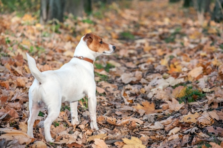 jack russel on autumn alley photo