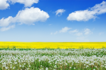 blue sky, dandelion meadow and rape photo