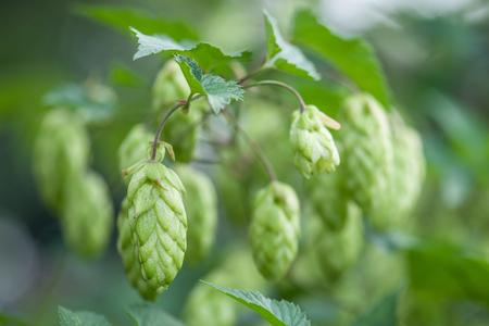 hop cone: hop cone on twig closeup Stock Photo