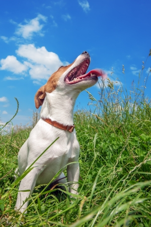 jack russel: jack russel in big grass