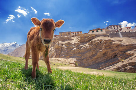 calf: small calf on green field