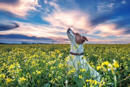 jack russel op bloem weide Stockfoto
