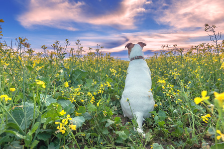 jack russell terrier: jack russel on flower meadow Stock Photo
