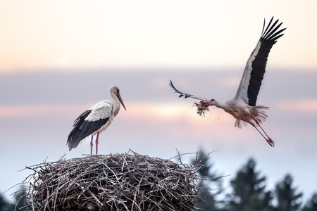 two stork on nest closeup