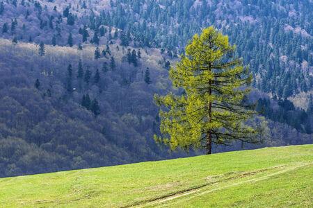mélèze et verte prairie au printemps