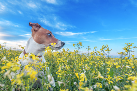 jack russel: jack russel on flower meadow Stock Photo