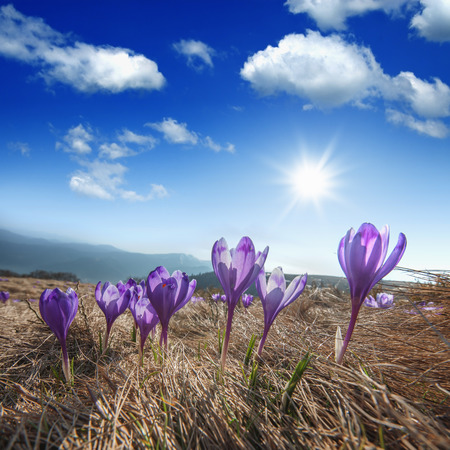 Purple crocus in high mountain
