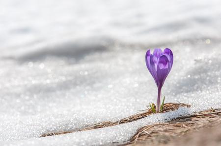 春の花クロッカスをクローズ アップ 写真素材
