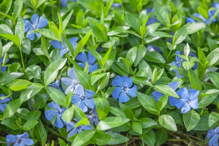 plantas medicinales: flores azules del bígaro de cerca