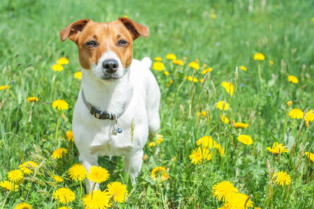 interested: jack russel on flower meadow Stock Photo