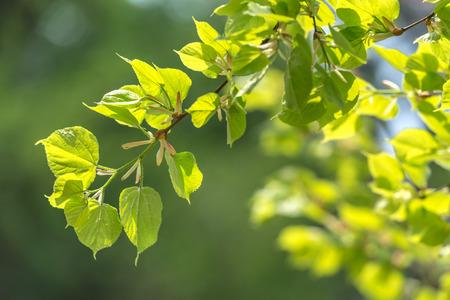 new linden leaf in morning forest