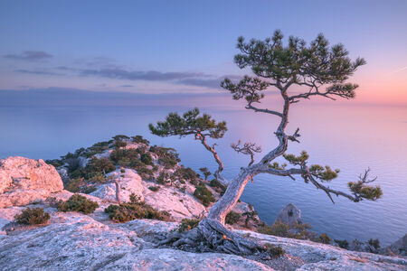 juniper tree: Tree on rock in Crimea Stock Photo