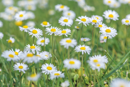 yellow wildflowers: meadow of chamomile close up