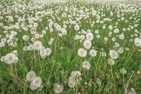 weeding: dandelions on blue closeup