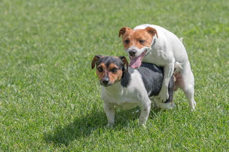 sexual activity: two jack russel terrier Stock Photo