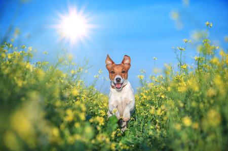 jack russel on flower meadow Stockfoto