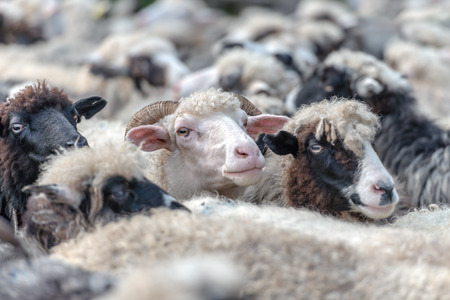 sheeps: herd of sheeps close up