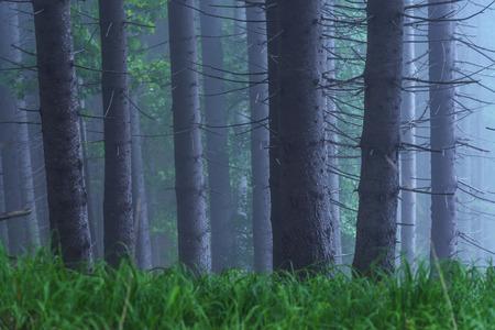 fairy tale fir tree forest photo