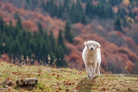 white shepherd dog: cane da pastore bianco vicino Archivio Fotografico